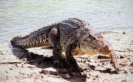 Cuban crocodile emerges from the water and walks onto the sandy, rocky shoreline.