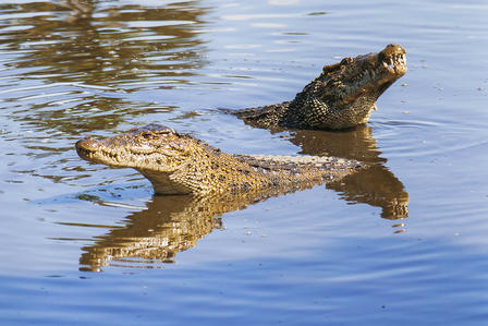 Heads lifted out of the water, two Cuban crocodiles float in a pond.