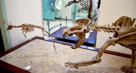 A fossil specimen of the beardog Amphicyon ingens in the Museum's fourth-floor fossil halls.