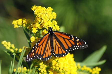 Monarch butterfly shows off its patterned wings as it rests on a blooming goldenrod plant.