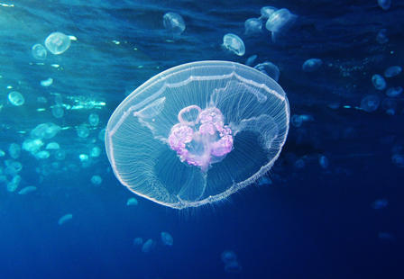 Saucer-like moon jellyfish floats along undersea, with other moon jellyfish visible in the background.