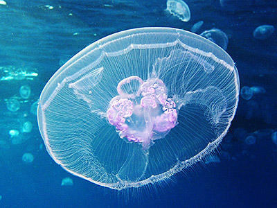 Saucer-like moon jellyfish floats along undersea, with other moon jellyfish in the background.