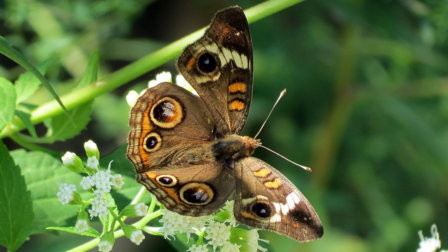 Owl butterfly sits on a flowering plant, it's extended wings display a bold, spotted pattern.