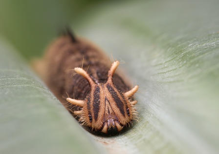 Close-up view of an owl butterfly larva resting on a leaf.