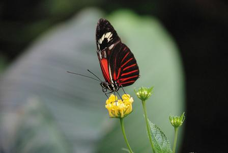 Scarlet swallowtail butterfly perches delicately on a small flower.