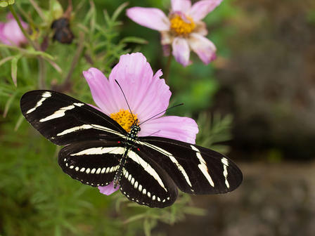 Zebra longwing butterfly displays its striped wings as it sits on a flower.