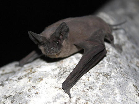 Bat rests with wings folded rests on a stone surface.