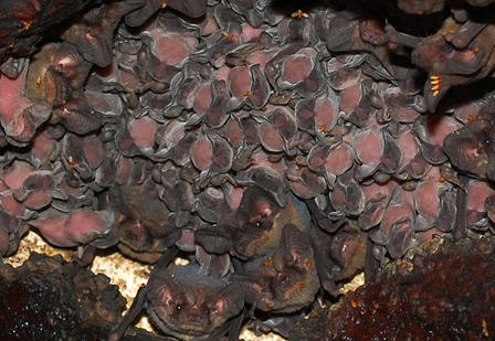 Large numbers of adult and juvenile bats piled on top of one another in a cave roost.