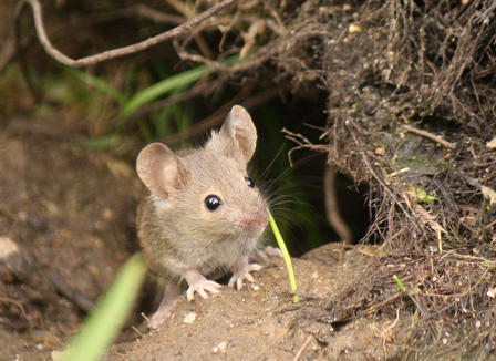 Mouse peeks out from its burrow.