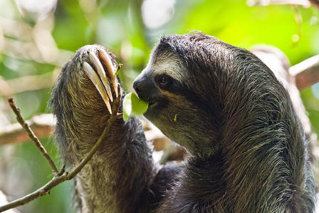 Sloth pulls a leafy branch towards himself using his three-clawed paw, and takes a bite out of a leaf.