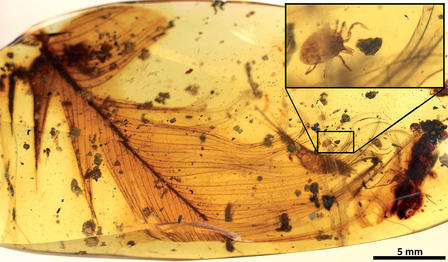 Tick attached to a feather suspended in amber, a magnification shows the tick in detail.