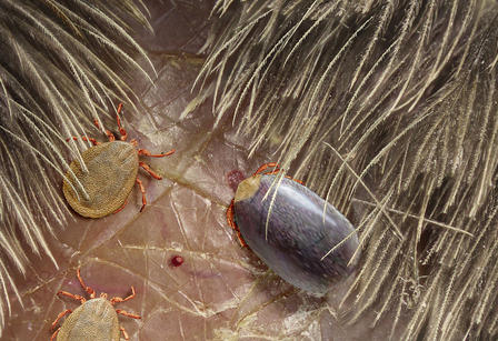 Model shows an engorged tick and two flat ticks attached to a recreation of a feathered skin surface.