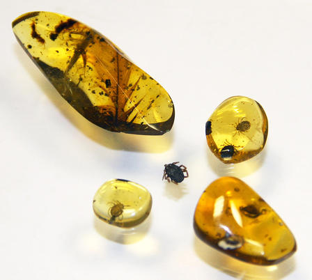 A tick specimen is surrounded by four pieces of amber in varying sizes.