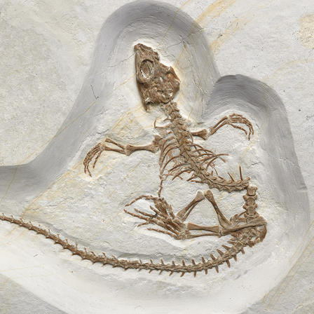 Dorsal view of complete reptile fossil with extended limbs and long tail.