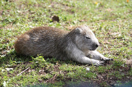 Desmarest's hutia lies on the grass with his eyes closed, basking in the sun.
