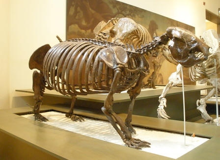 Full skeleton of Megalocnus rodens stands on all fours on a pedestal inside the Museum, a painting and a different skeleton in partial view behind it.