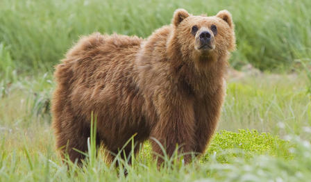 Bear stands on all fours in a grassy field and looks towards the camera.