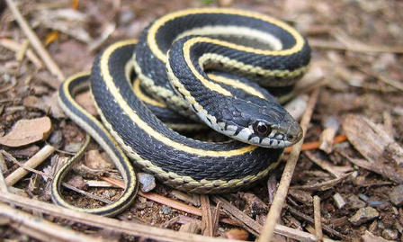 Striped snake is curled up on a pile of dried leaves and twigs.