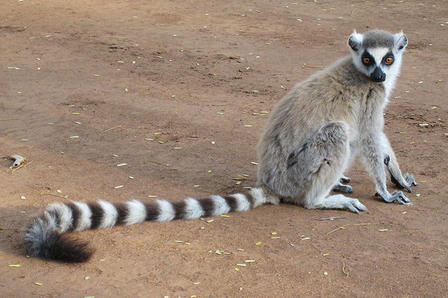 Lemur with a long striped tail sits on a patch of bare ground and looks towards the camera.
