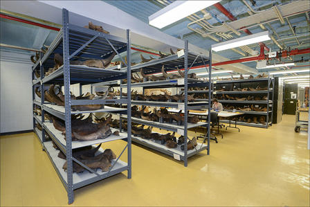 Warehouse type room with aisles of heavy-duty metal shelving housing hundreds of large fossils;  a researcher sits at a table.