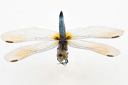 Dorsal view of dragonfly specimen with wings fully extended.
