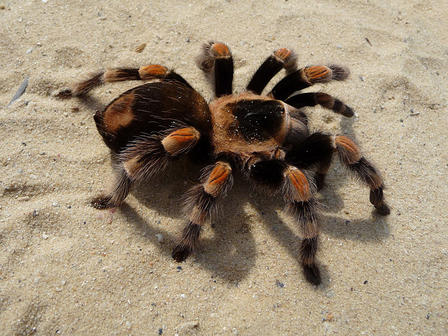 A large, fuzzy tarantula walks across a sandy area.