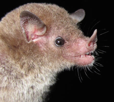 Extreme closeup of Greater Antillean bat's head, shows the details of his ears, eyes, nose and teeth.