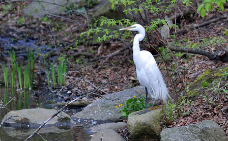 Great Egret perches on a partially submerged rock at the edge of a body of water, which is lined with plants, rocks and fallen tree branches.