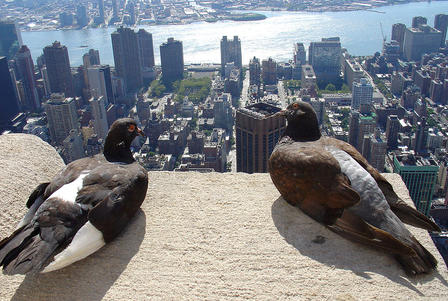 Two pigeons sit on the edge of the rooftop of a tall building, providing the birds with an aerial view of New York City.