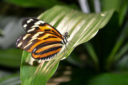 A boldly patterned butterfly perches on a wide plant leaf.