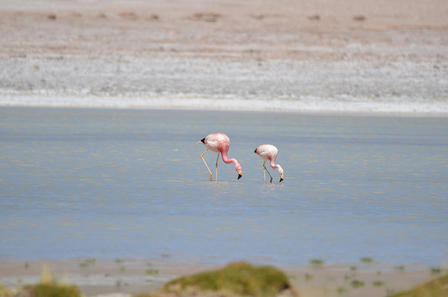 Two flamingos stand side by side in shallow water, dipping their heads below the surface.