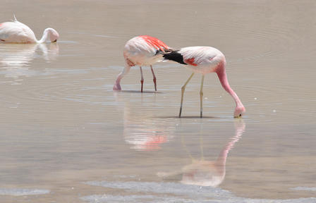 Two flamingos stand side by side in shallow water and another floats nearby, all dipping their heads below the surface.
