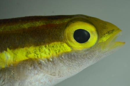 Close-up of small fish exhibiting a bioluminescent stripe and eye.