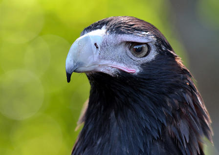 Close-up of wedge-tailed eagle's head showcasing its large eye.