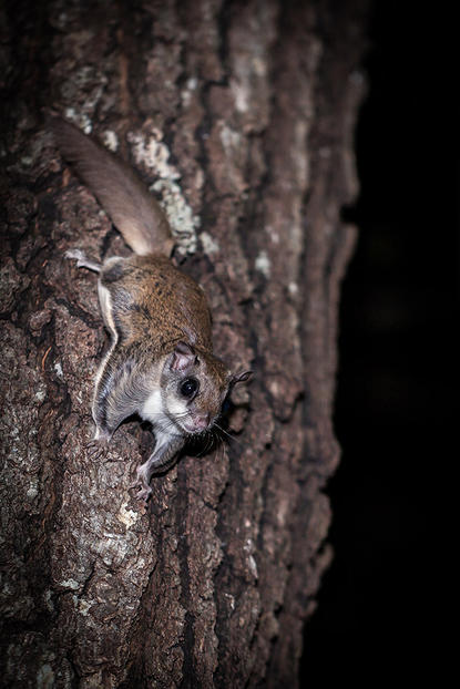 Flying squirrel perches on the trunk of a tree.