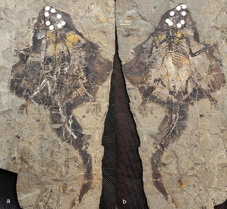 Side-by-side dorsal and ventral view of gliding mammal fossil.