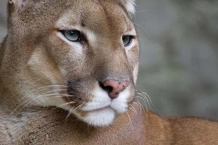 Closeup of a cougar's face, highlighting its whiskers.