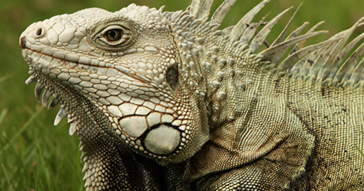 Five Things To Know About Iguanas Amnh