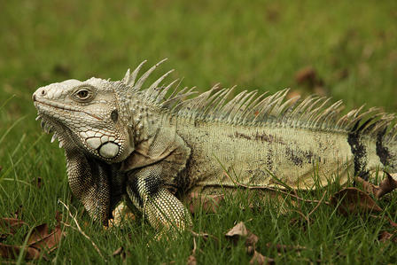 Iguana rests in a grassy area with a few dried leaves in the foreground.