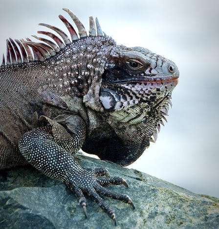 VIew of an iguana's spiny head and neck and clawed front leg as it rests on a rock.