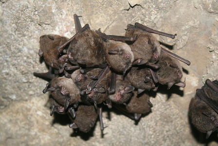 14 or more bats with eyes closed and wings folded huddle on top of one another in a cluster.