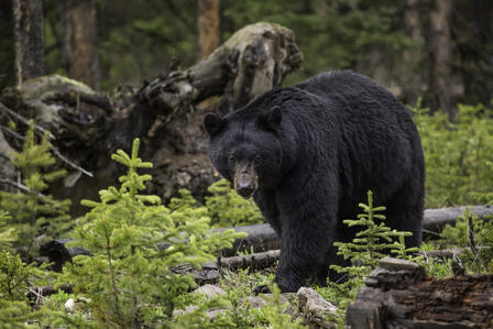 Black bear in a forest walks on all fours past fallen trees and new evergreen growth.