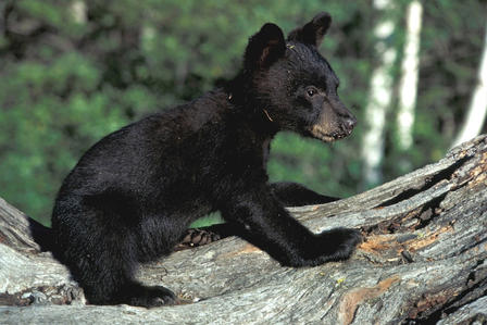 Small black bear cub balances on all fours on the trunk of a fallen tree.