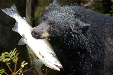 Water drips off a black bear's head as it holds a freshly caught salmon in its mouth.