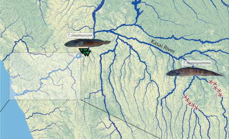 Map of the Kasai River shows it's many branches, and images of cichlids are placed on the map to designate their locations.