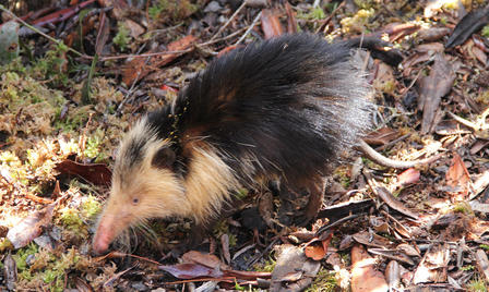 A Cuban solenodon walks across dead leaves and twigs scattered on the forest floor.
