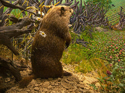 A Museum diorama shows a groundhog standing on its hind legs near a tree and looking out over a flowering field, with rows of crops in the distance.