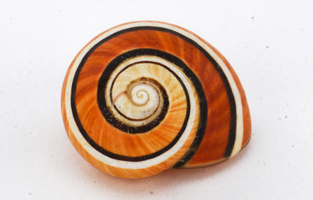 Multi-colored stripes in a spiral pattern adorn this snail shell.