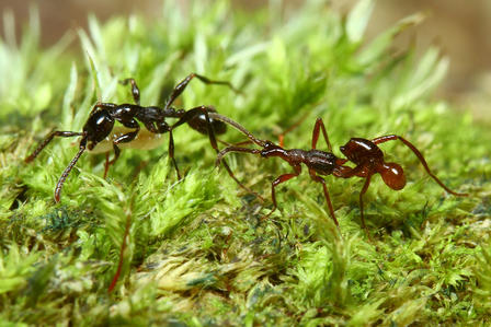 Similarly structured rove beetle and ant walk across a patch of grass.