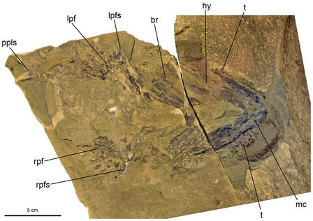 Detailed view of the Doliodus problematicus fossil, with a text overlay of letters and lines pointing to specific areas of the specimen.